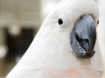White parrot. With bright eyes and black beak Stock Photo
