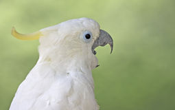 White Parrot. On the stone Royalty Free Stock Images