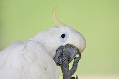 White Parrot Royalty Free Stock Images