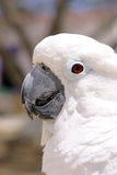 White Parrot. Headshots royalty free stock image