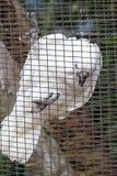 White parrot ara Royalty Free Stock Image