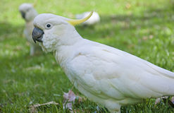 White parrot from Australia royalty free stock images