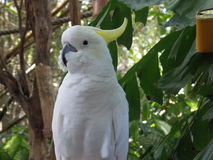 White Parrot. Beautiful bird in close-up Stock Photos