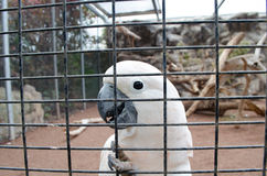 White parrot behind a cage. Stock Photos