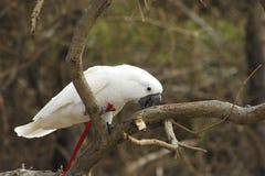 White parrot Stock Photo