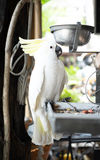 White parrot  bound with chains at house Royalty Free Stock Photography