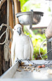 White parrot  bound with chains at house Stock Images
