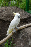 White parrot. A white parrot on branch Royalty Free Stock Photo