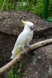 White parrot Royalty Free Stock Photo