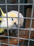 White parrot in cage. With suspicious look stock image