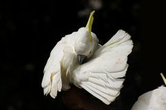White parrot. Close up of a white parrot Stock Image