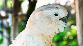 White parrot, cockatoo bird // beautiful white parrot ara 2018.  royalty free stock photo
