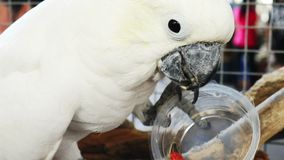 A white parrot eating a sunflower seed from a plastic cup. stock video footage