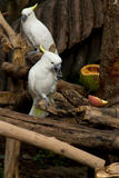 White Parrot enjoy eating Stock Photo