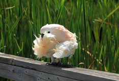 White Parrot Stock Photography