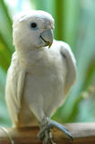 White parrot. With green background Stock Image