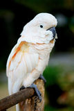 White parrot. On a green background stock photography