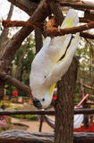 White parrot hanging from branch. Royalty Free Stock Image