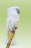 White parrot  on light green background Stock Image