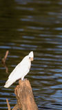 White parrot on the river Stock Images
