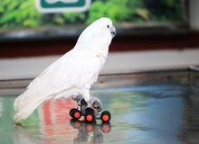 White parrot rollerblading Royalty Free Stock Photos