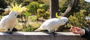 White parrot in ron town,australia Stock Images