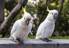 White parrot in ron town,australia Stock Photo