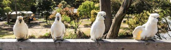 White parrot in ron town,australia Stock Photos