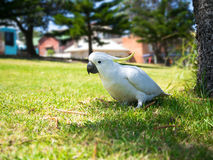 White Parrot sitting on grass field. With houses in the background Stock Photo