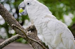 White parrot eating a grape Royalty Free Stock Photography
