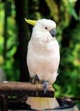 White parrot sitting on wood Stock Photo