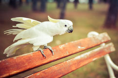 White Parrot - Sulphur-crested cockatoo - Cacatua galerita on a Royalty Free Stock Photography