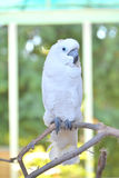 White parrot on a tree branch. A white parrot resting on a tree branch Royalty Free Stock Photos