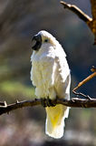 White parrot. With a wide opened beak Stock Images