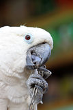 White parrot in a zoo Stock Photo