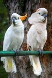 White Parrots Royalty Free Stock Photo