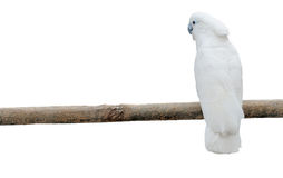 White parrots on a pole Stock Photos