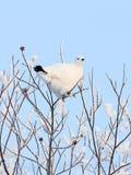 The white partridge Royalty Free Stock Photos