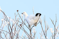 The white partridge Stock Image