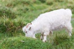 White Pashmina Goat Stock Photos