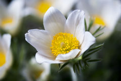White Pasque Flower Royalty Free Stock Images
