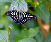 white pawi motyla Obrazy Stock