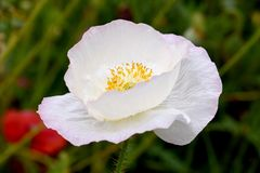White Peace Poppy 01 Royalty Free Stock Photo