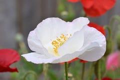 White Peace Poppy in Open Meadow stock photos