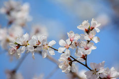 White peach blossom flower with blue sky background. Stock Photography