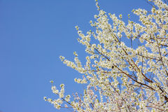 White Peach blossom flower with clear blue sky background. Royalty Free Stock Photo