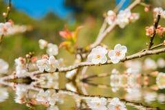 White peach blossom flower, Stock Image