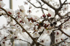 White peach blossom in full bloom Royalty Free Stock Images