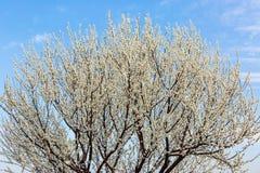 White peach blossom Stock Image