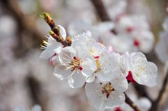 White  peach blossom in spring time.  royalty free stock photos